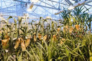Corn plants grow under greenhouse lights